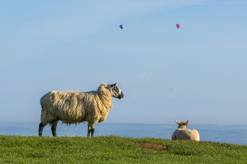 Resting sheep watching hot air balloons fly past Dovers Hill with a clear blue sky. Early morning on Dovers hill near Chipping Campden. Two hot air balloons fly stock photography