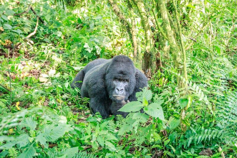 Download Resting Silverback Mountain Gorilla. Stock Photo - Image: 83723036