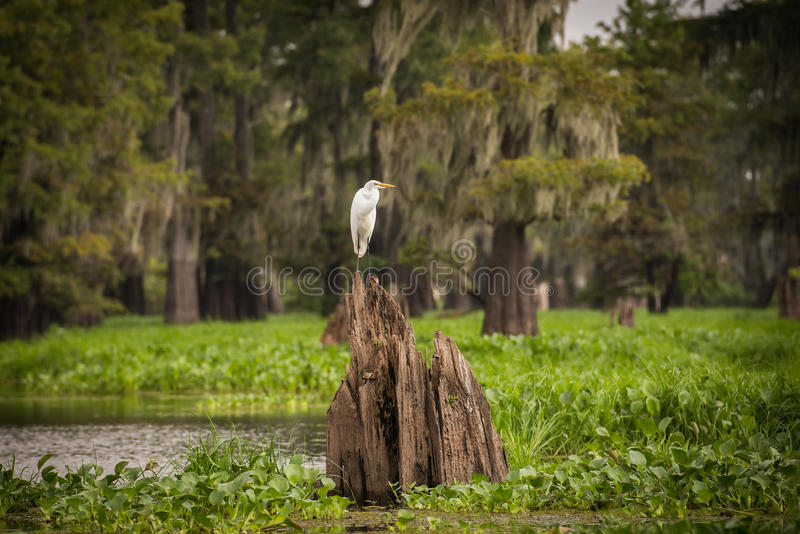 Resting Snowy Egret royalty free stock images