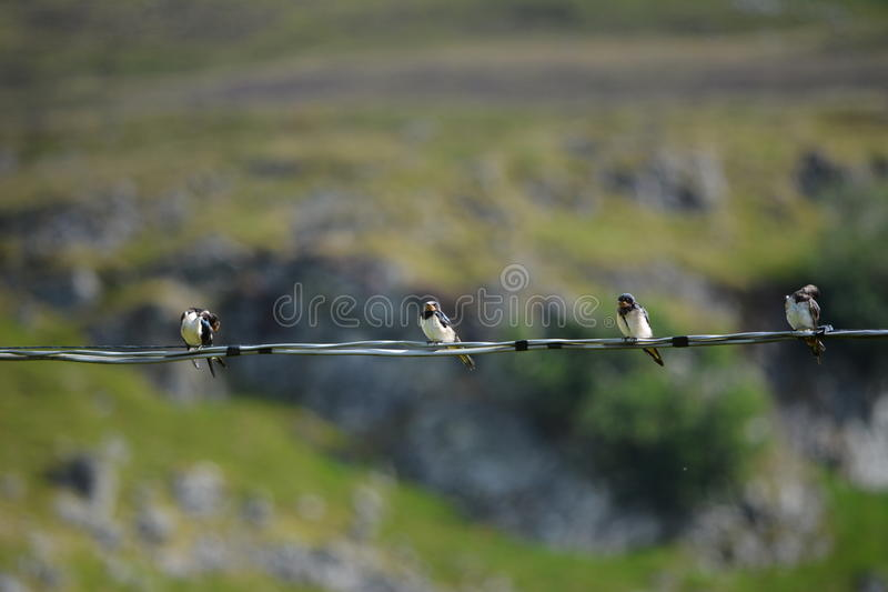 Resting swallows. Swallows resting on a power cable before they migrate south royalty free stock photo