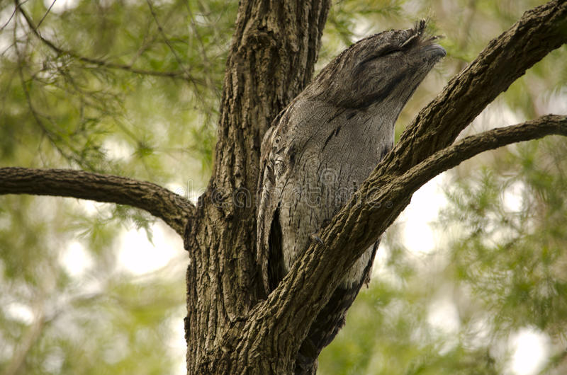 Resting Tawny Frogmouth stock photos