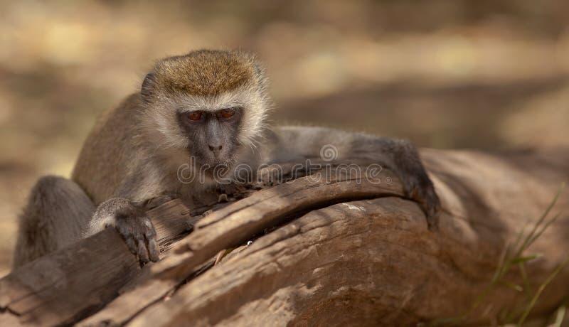 Download A resting Vervet Monkey stock image. Image of forest - 24242725