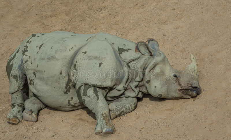 Resting White Rhino royalty free stock image