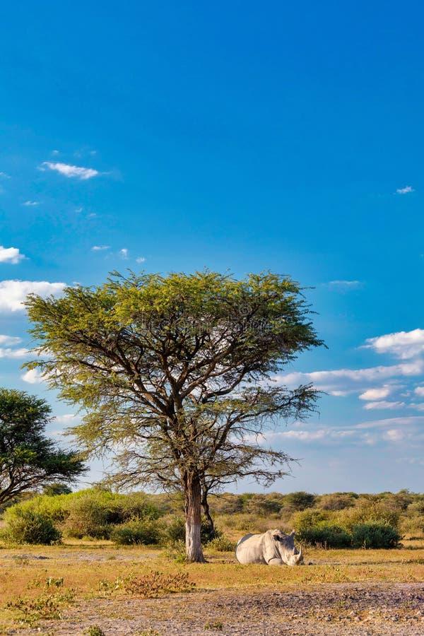 Resting white rhinoceros under acacia tree, Botswana stock photos