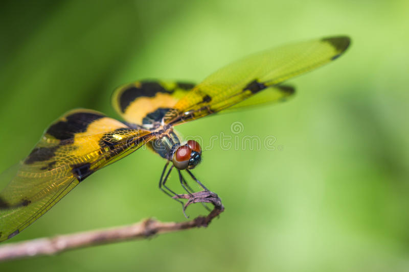 Resting yellow-black dragonfly. A Resting yellow-black dragonfly stock images