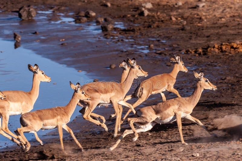 Restless Impalas near a waterhole. A group of Impalas -Aepyceros melampus- running nervously around a waterhole in Etosha National Park, Namibia stock photo