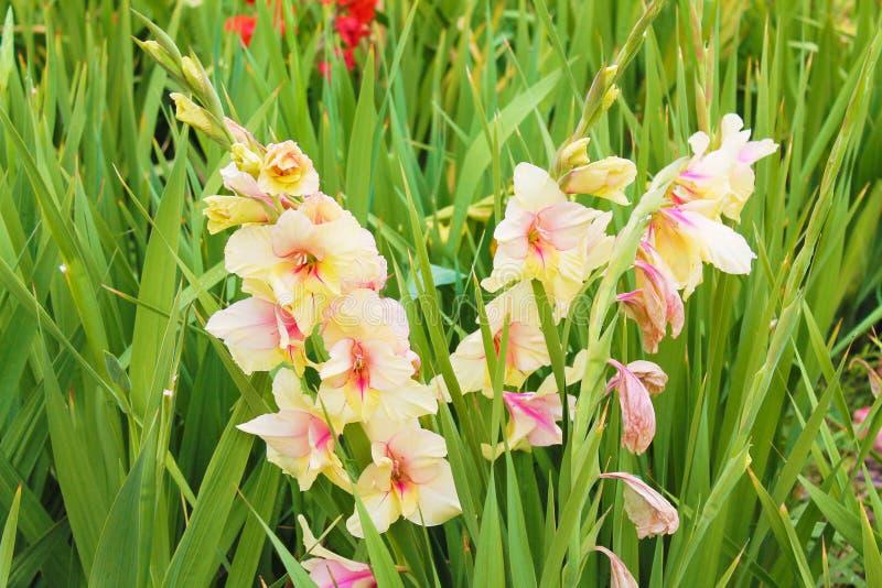 Resto bianco di gladiolo e riscaldarsi nel sole caldo Rami bianchi di gladiolo su fondo verde immagine stock libera da diritti