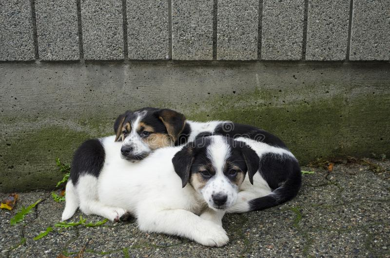 Resto cansado de dois cachorrinhos após o jogo fotografia de stock royalty free