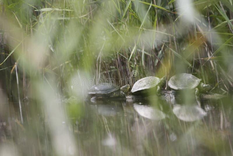 Resto das tartarugas de água doce em um coto de árvore foto de stock royalty free