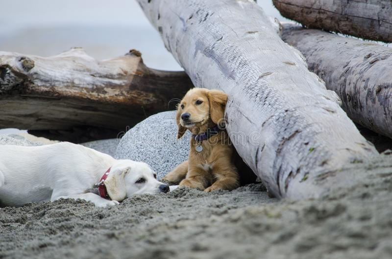 Resto de dos perritos después de jugar en la playa foto de archivo libre de regalías