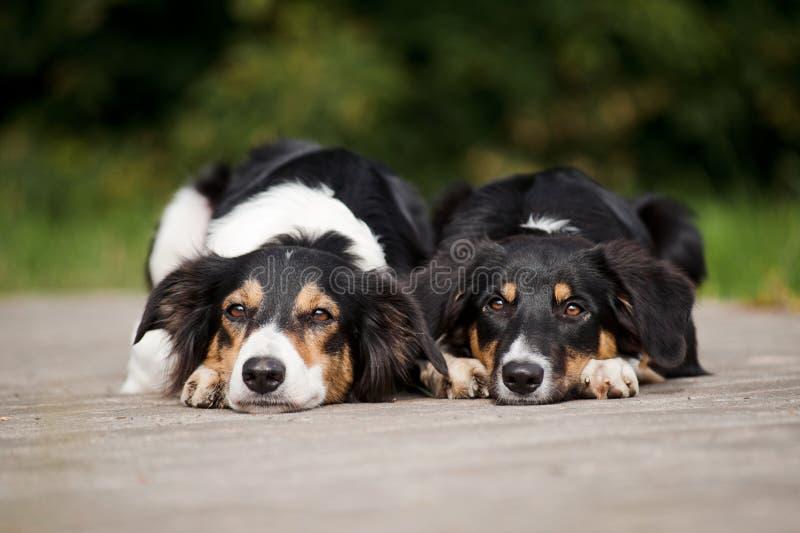 Retrato del border collie de dos perros imagenes de archivo