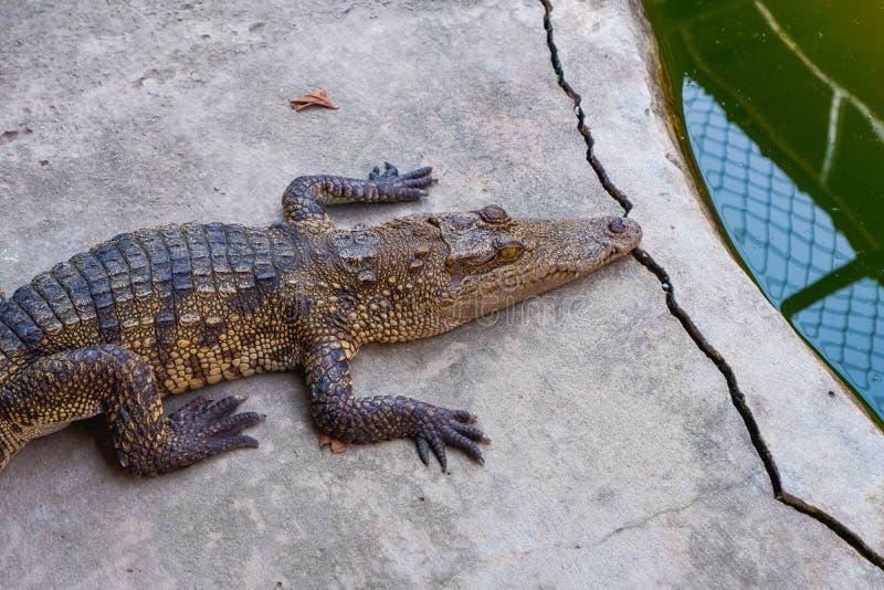 Resto del coccodrillo sul pavimento fotografia stock libera da diritti