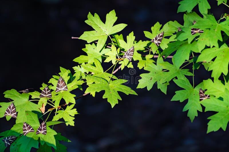 Resto del tigre del jersey de las mariposas en las hojas del árbol del sweetgum en Butterfly Valley Rodas, Grecia foto de archivo libre de regalías