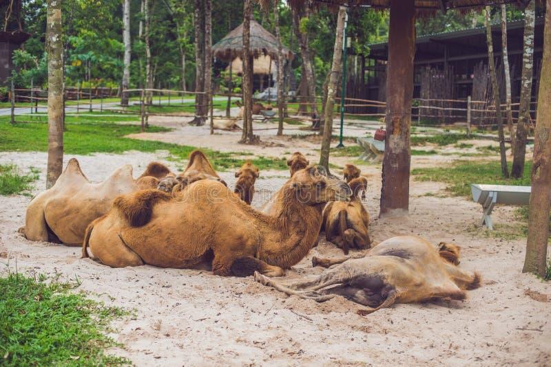 Resto dos camelos na exploração agrícola após o almoço foto de stock royalty free