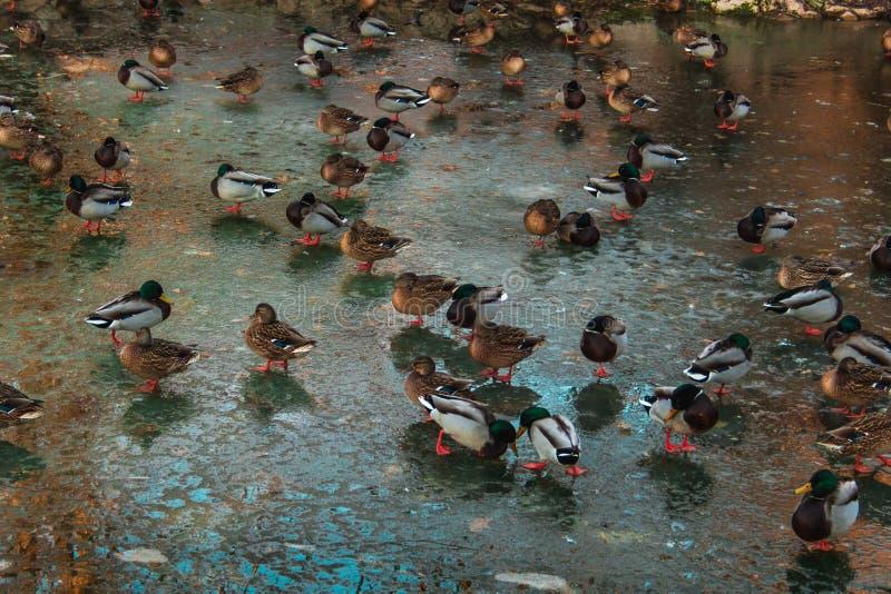 Resto dos patos em um lago congelado foto de stock royalty free