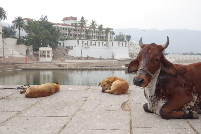Resto macchiato della mucca e dei cani del bramano immagini stock