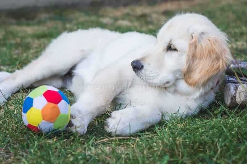 Resto pequeno do cachorrinho do golden retriever perto de uma bola colorida fotos de stock