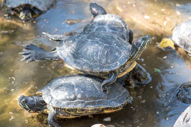 Resto sveglio delle tartarughe sotto il sole immagini stock libere da diritti