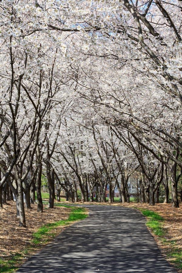 Reston Virginia Pathway under markisen av Cherry Trees royaltyfri bild