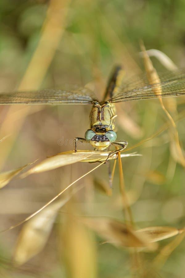 Restos amarillos y negros de la libélula en la hoja verde en campo foto de archivo