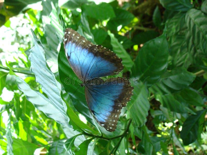 Restos azules brillantes de la mariposa de Morpho en una hoja fotografía de archivo libre de regalías