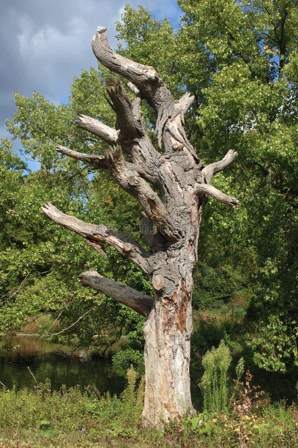 Restos de árbol en Regent's Park, Londres foto de archivo libre de regalías