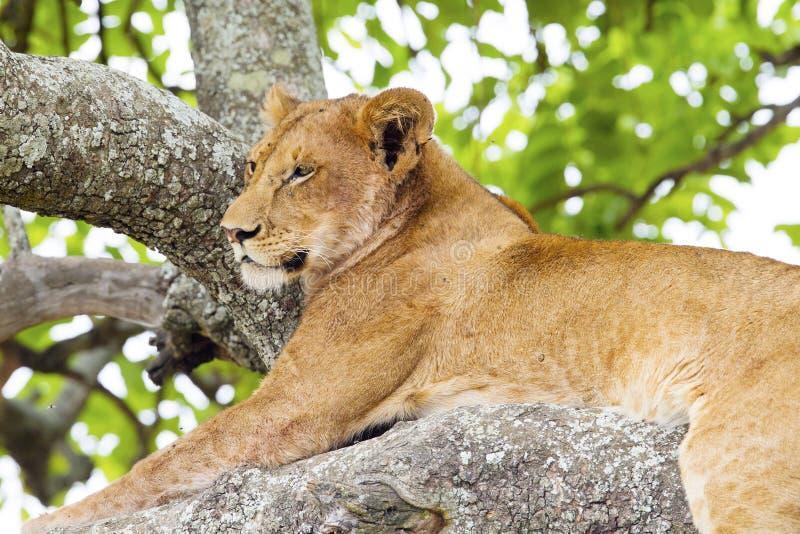 Restos de escalada do leão da árvore em África imagem de stock