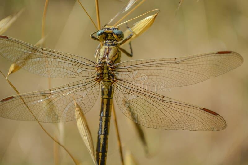Restos de la libélula en la hoja verde foto de archivo libre de regalías