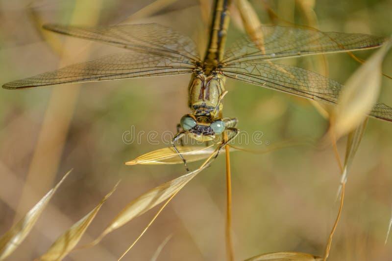 Restos de la libélula en la hoja verde imágenes de archivo libres de regalías