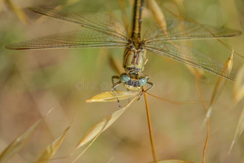 Restos de la libélula en la hoja verde fotografía de archivo