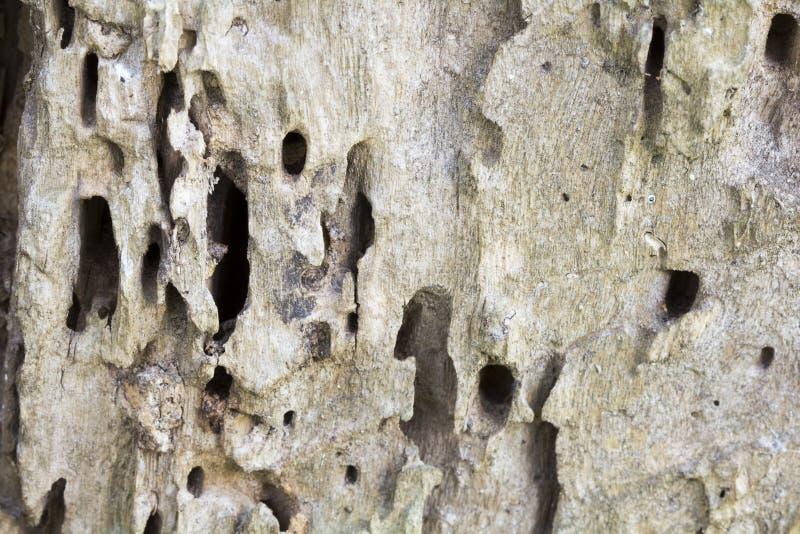 Restos de un tronco de árbol viejo sin el árbol de corteza comido por los gusanos de madera foto de archivo libre de regalías