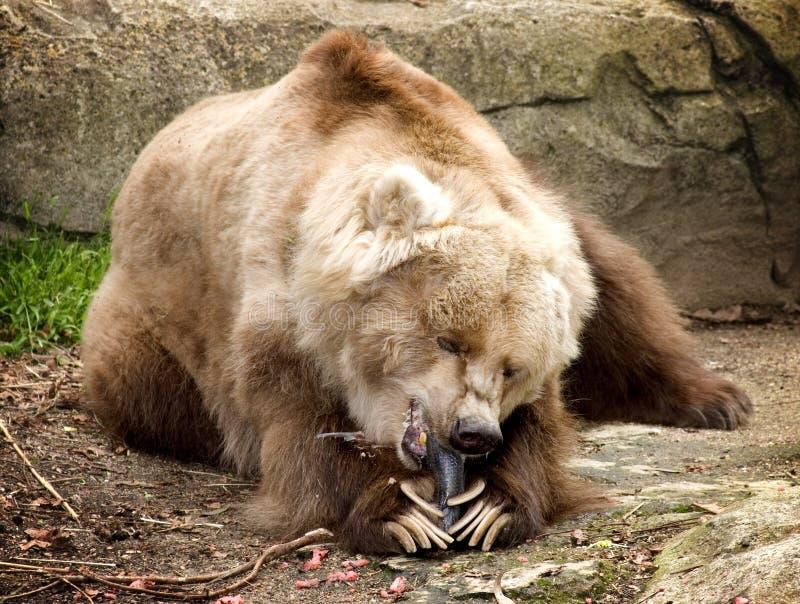 Restos del oso de Kodiak en el sol imágenes de archivo libres de regalías