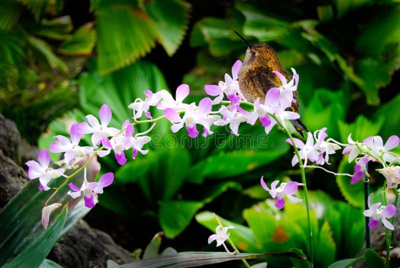 Restos do colibri em flores da orquídea fotografia de stock royalty free