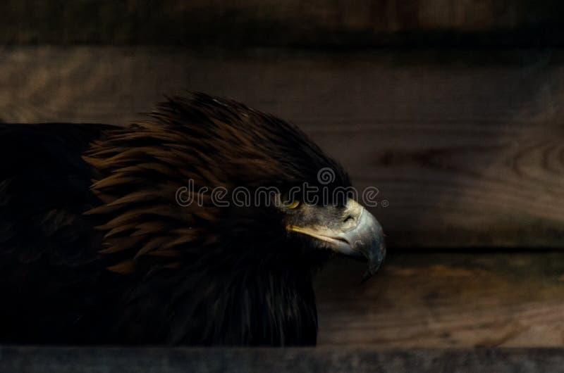 Restricción del concepto de la libertad: Chrysaetos de oro de Eagle Aquila en cautiverio fotografía de archivo libre de regalías