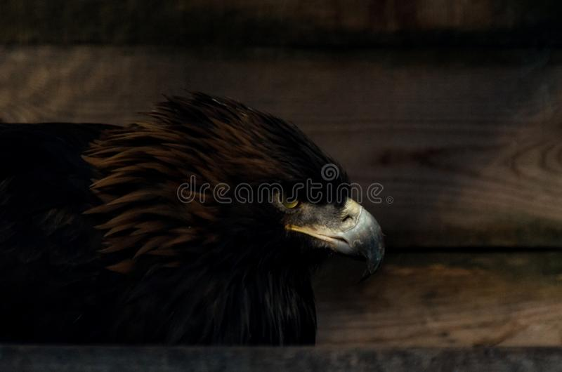 Restriction of freedom concept: Golden Eagle Aquila chrysaetos in captivity.  royalty free stock photography