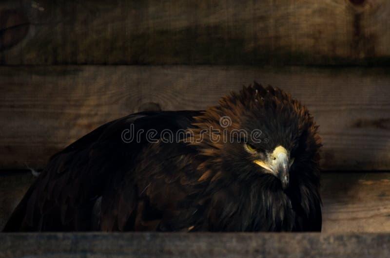 Restrizione del concetto di libertà: Chrysaetos dorati di Eagle Aquila nella cattività fotografia stock