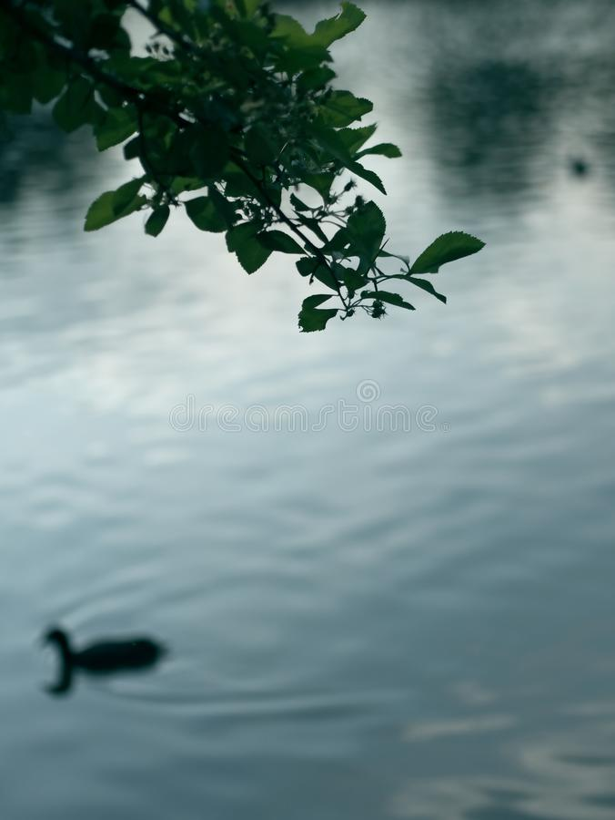Resuma el fondo borroso del lago con la silueta de la rama de árbol y duck en la oscuridad fotos de archivo libres de regalías