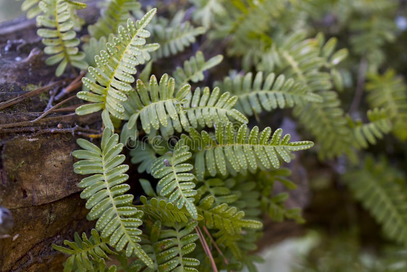 Resurrection Fern - Pleopeltis polypodioides stock images