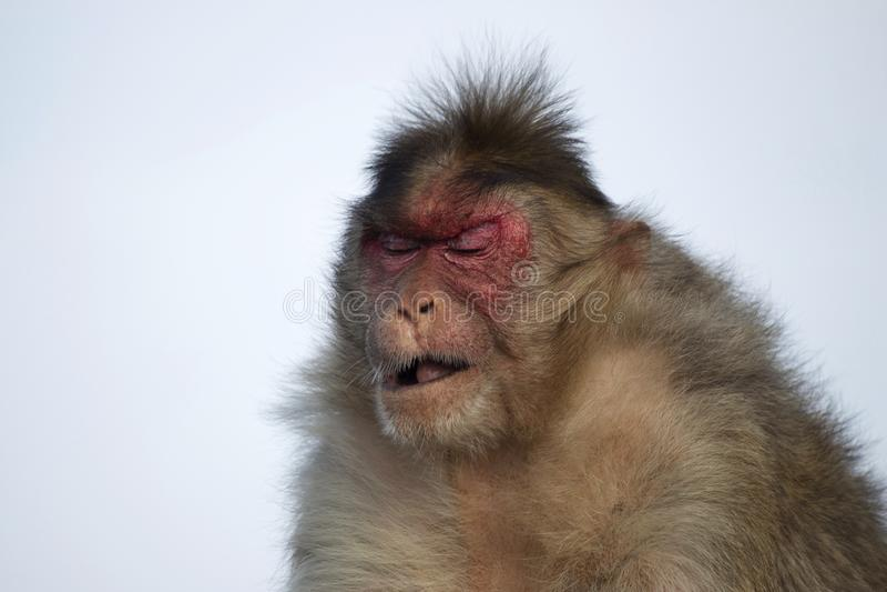 Resusaap macaque of aap met droevige uitdrukking, Maharashtra, India stock foto