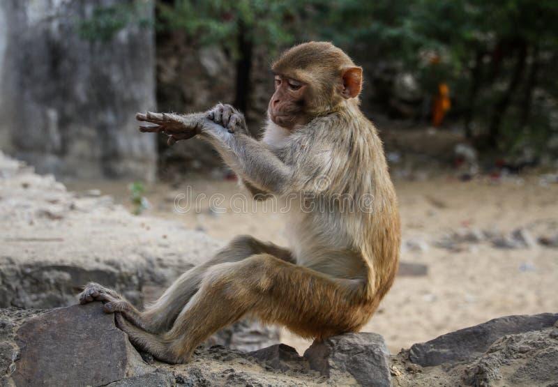 Resusaap Macaques die de tijd controleren in Aaptempel of Galtaji, Jaipur, Rajasthan, India royalty-vrije stock afbeeldingen