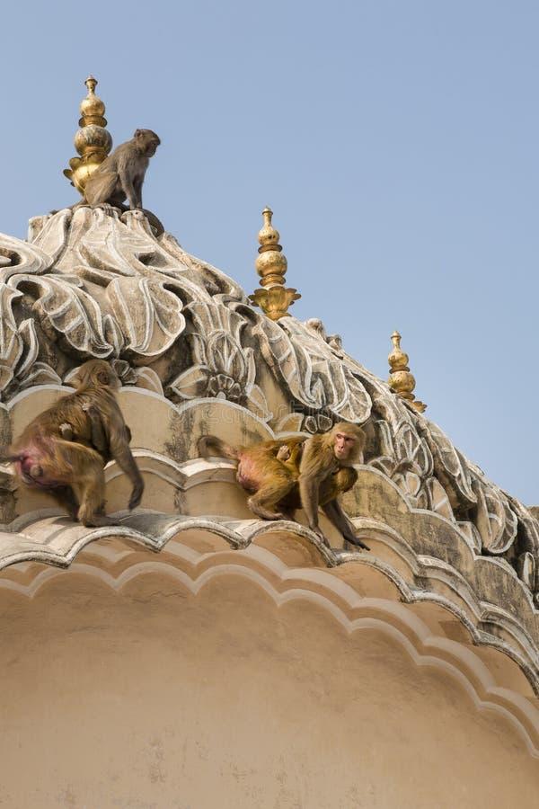 Resusaap Macaques, India stock afbeeldingen