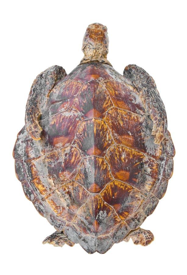 Resztki hawksbill denny żółw. fotografia royalty free