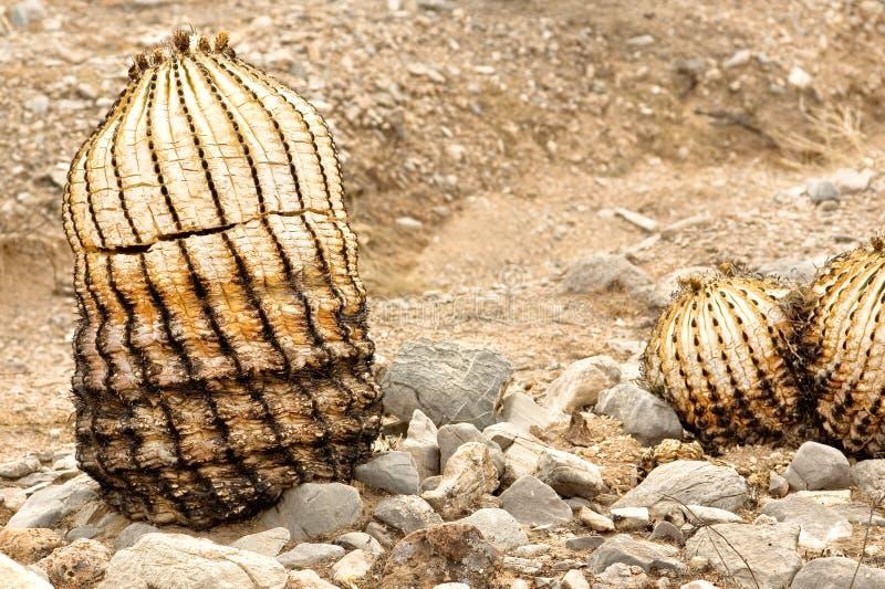Resztki Lufowy kaktus obraz royalty free