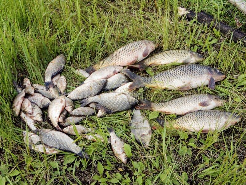 Retén de pescados de agua dulce imagenes de archivo