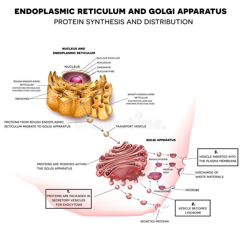 Retículo endoplásmico y aparato de Golgi ilustración del vector