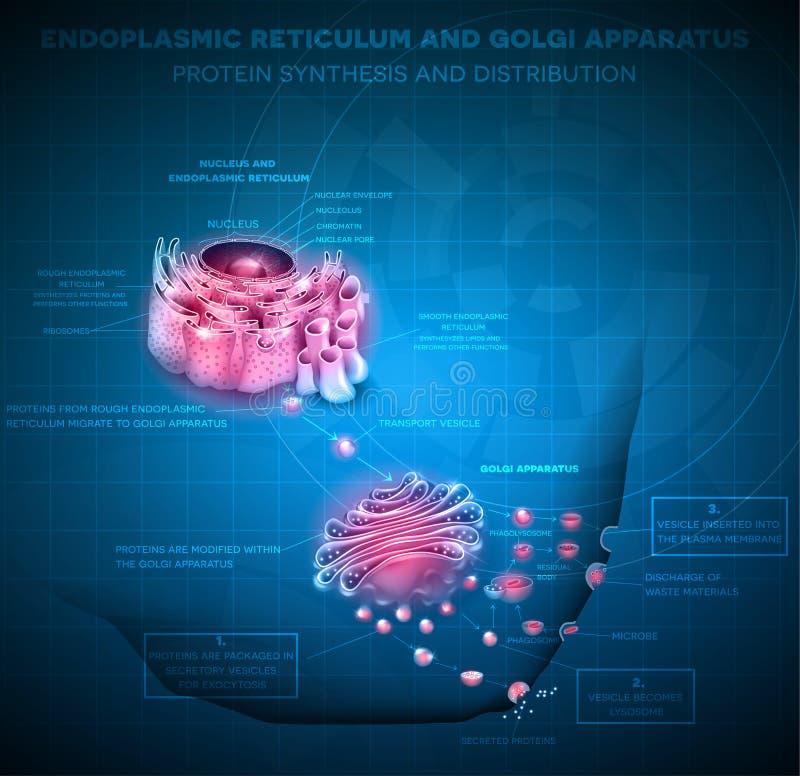 Retículo endoplásmico y aparato de Golgi stock de ilustración