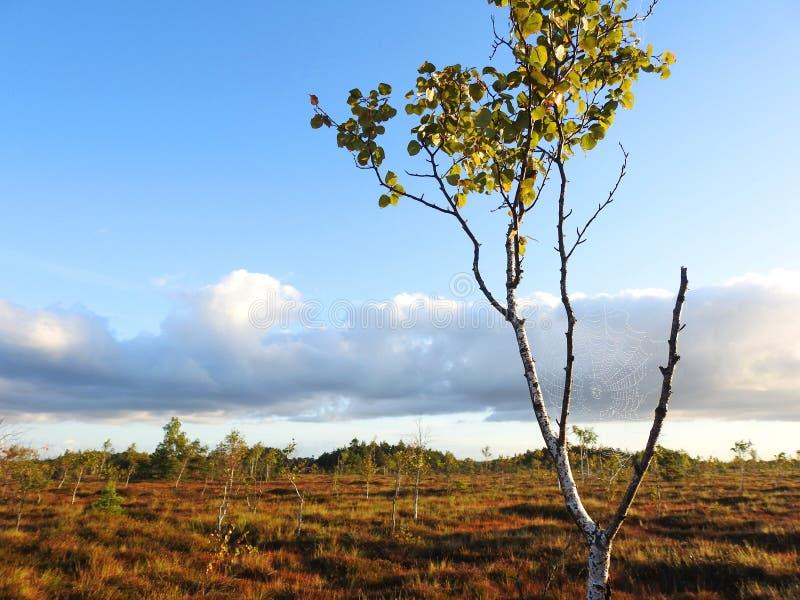 Rete del ragno sul ramo di albero nell'alba, Lituania immagini stock
