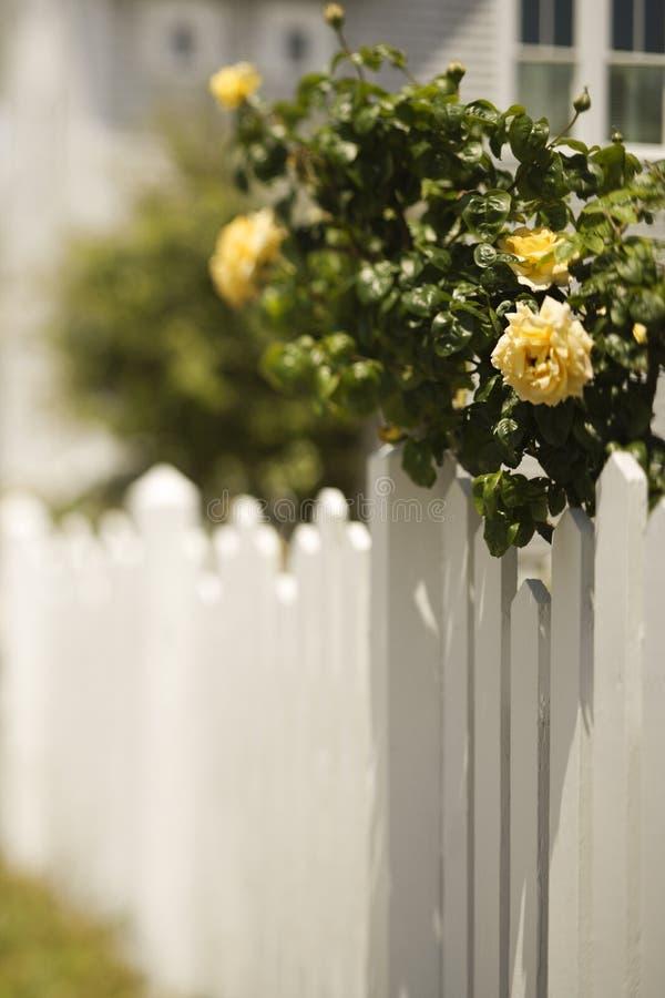 Rete fissa di picchetto bianca con il cespuglio di rosa. fotografia stock libera da diritti