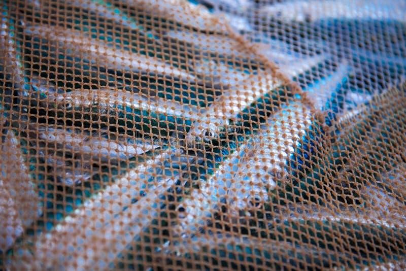 Rete in pieno del pesce fotografia stock libera da diritti