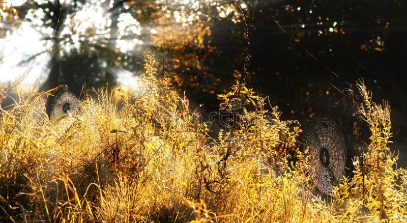 Reti del ragno su un prato di autunno al lig della foresta di mattina immagine stock libera da diritti